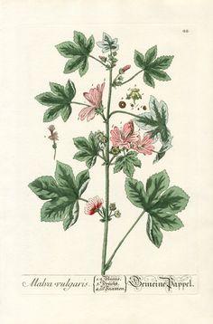 Elizabeth Blackwell Herbarium by Jacob Trew 1757 - Malva