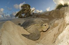 Tartaruga Verde ou Aruanã