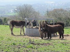 Lunch time for the #donkeys up on #Mynyddygarreg Mountain today.
