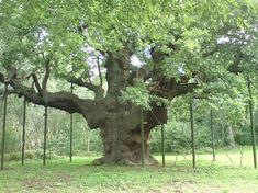 The Major's Oak is a huge oak tree in the heart of Sherwood Forest, Nottinghamshire, England. According to local lore, it was Robin Hood's shelter where he and his band of merry men slept. The famous tree is about 800 to 1000 years old. In 1790, Major Hayman Rooke, a noted antiquarian, included the tree in his popular book about the ancient oaks of Sherwood. It thus became known as The Major's Oak.