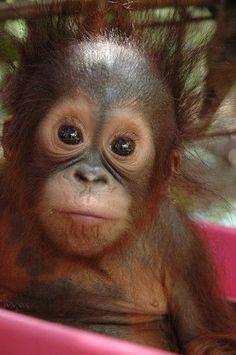 Bright eyed baby Orangutan....so cute!