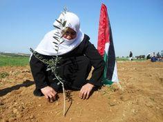 Um Abed planta un olivo en símbolo de apoyo a los agricultores palestinos. (Eva Bartlett/IPS)