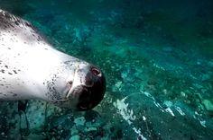 Ce léopard de mer vous a dans le collimateur.