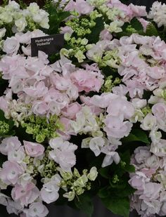 Gorgeous hydrangeas at Chelsea Flower Show 2016