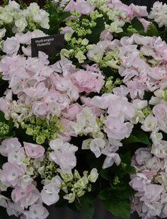 Gorgeous hydrangeas at Chelsea Flower Show 2016