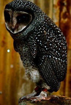 Sooty Owl~ Australia   I'm having a difficult time figuring out if this is a real plumage or not. I know little about Sooty owls.