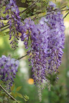Blue Hortensia: Među tulipanima i visterijom...