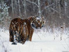 Tiikerit - varitaustakuvat vapaa: http://wallpapic-fi.com/elaimet/tiikerit/wallpaper-31366