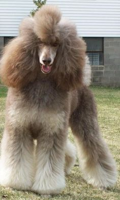 Parti Colored Standard Poodle brown & cream from Phantom Standard Poodles I Love Dogs, Cute Dogs, French Poodles, Standard Poodles, Phantom Poodle, Poodle Haircut, Poodle Hairstyles, Poodle Cuts, Poodle Grooming