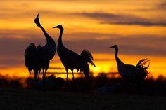 Kraniche, Vögel des Glücks - bald ziehen sie wieder über uns hinweg. (c) Foto: Carsten Linde via GEO