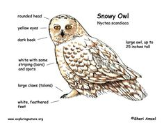 Snowy Owl Coloring Page January Activity Planner Pinterest