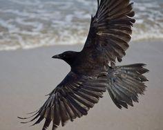 Crow at the Beach