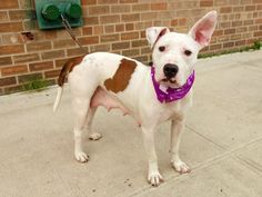 ~~FRIENDLY 2 YR OLD LITTLE GIRL TO BE DESTROYED 8/3/14~~ Brooklyn Center -P  My name is MAGENTA. My Animal ID # is A1008396. I am a female white and brown pit bull mix. The shelter thinks I am about 2 YEARS old.  I came in the shelter as a STRAY on 07/28/2014 from NY 11413, owner surrender reason stated was ABANDON.