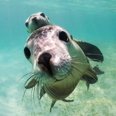 """""""Sea lion with a baby. Cute Creatures, Sea Creatures, Beautiful Creatures, Animals Beautiful, Cute Baby Animals, Animals And Pets, Funny Animals, Animals Images, Funny Cats"""
