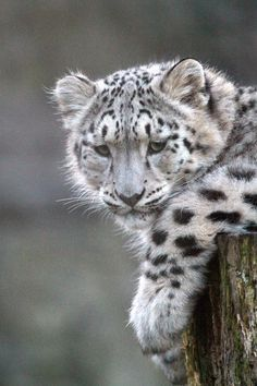 Snow Leopard Cubs (31) (by snapperglenn)                                                                                                                                                                                 More