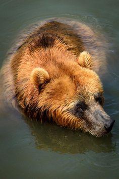 Swimming Kodiak Bear