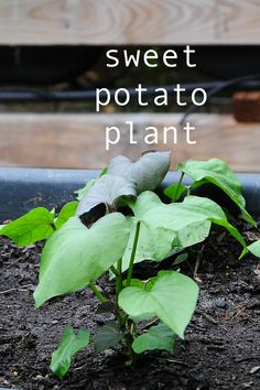how to grow sweet potatoes! cool link with lots of info.