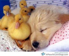 Doggies With Interesting Friends - cute puppy with ducklings (hva)