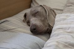 Exactly what our weimaraner, Hunter, does. Yes we spoiled him and he sleeps with an old pillow on his bed. Awww what a sweet pup.