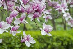 The saucer magnolia is still one of the most popular trees in the U. Learn more information on this tree here. Deciduous Trees, Trees And Shrubs, Flowering Trees, Saucer Magnolia Tree, Magnolia Trees, Magnolia Flower, Tulips Garden, Cottage Garden Plants, Planting Flowers