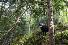 Paula im Eibenwald / Labrador in the yew-tree Forest #labrador  #labradorsofinstagram #labradorite #labradorable #labradorlove #labradoroftheday #labradorretriever #labradorofinstagram #labrador_pictures #labradorblack #yew #yewtree #yewtrees #eibenwald #eiben #baum