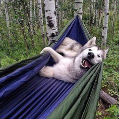 Ambassador @loki_the_wolfdog chillin' in the forest.