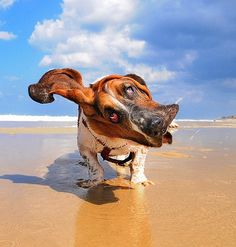 A basset hound shaking off water at a beach