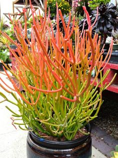 Fire Sticks, Red Pencil Tree, Sticks of Fire, Sticks on Fire - Euphorbia tirucalli 'Rosea' is a very striking succulent shrub, up to 25 feet (7.6 m) tall and up to 10 feet (3 m) wide. Branches are...