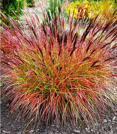 Die filigranen Halme hängen leicht über und bewegen sich anmutig im Wind. Im Herbst färbt sich das schmale Laub leuchtend Orange-rot und setzt malerische Akzente im Staudenbeet.