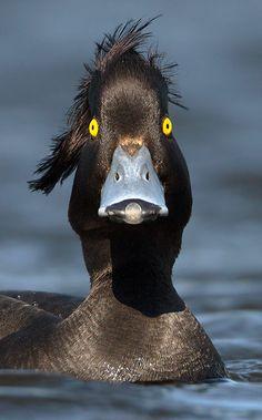 Aythya fuligula / Tufted Duck