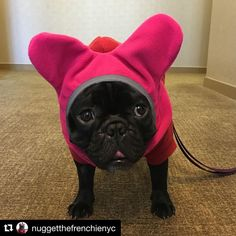#regram @nuggetthefrenchienyc  Momma trying to up my winter game this year. #wintergear // #dogs #frenchies #frenchbulldogs #bulldogs #etsy #dog #frenchie #frenchbulldog #bulldog #buhi #batears #dogears #bigears #doghat #hat #winterhat #touk