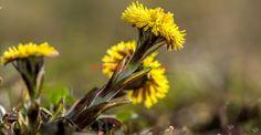 Podbalul, buruiana tămăduitoare din râpe | Paradis Verde Medicine, Remedies, Plant