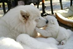405218_2767270455330_1694398200_n Do You Like the Fluffy Samoyed Puppies?