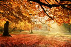 Sunny Autumn Leaves Sunrays Trees Nature Fall Sun Woods Forest Rays Splendor Picture