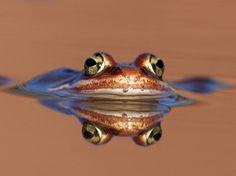 Frog Eyes - Frogs Wallpaper ID 1289842 - Desktop Nexus Animals