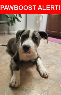 Is this your lost pet? Found in San Diego, CA 92103. Please spread the word so we can find the owner!  pitbull puppy gray/brindle no chip was wearing Black harness when found.    Near Cleveland Ave & University Ave