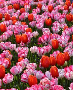 Tulip mix bulbs