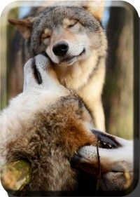 The wolf on the bottom lol Wolf Images, Wolf Photos, Wolf Pictures, Beautiful Wolves, Animals Beautiful, Nature Drawing Pictures, Coyotes, Animals And Pets, Cute Animals