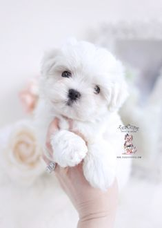 Maltese Dog For Sale, Maltese Poodle Puppies, Maltese Dog Breed, Teddy Bear Puppies, Yorkie Puppy For Sale, Tiny Puppies, Cute Little Puppies, Shih Tzu Puppy, Cute Dogs And Puppies