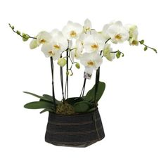 Orchidee White in jeans