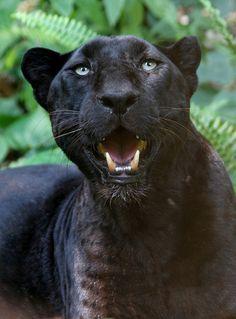 JUMANJI - Black leopard. Big Cat Rescue, Tampa, Florida