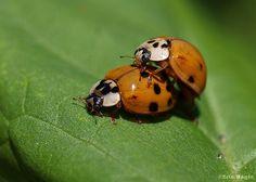 Ladybug / Coccinelle