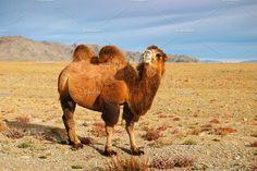 Rare Animals, Plush Animals, Mongolian Desert, Sumatran Orangutan, Bactrian Camel, Amur Leopard, Wild Animals Photos, Butterfly Species, Okapi