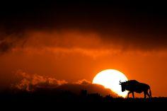"wildebeest and sunset in ""Kalahari Blend"" by Mario Moreno, via 500px"