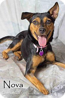Gilbert, AZ - Manchester Terrier Mix. Meet Nova, a dog for adoption. http://www.adoptapet.com/pet/11579109-gilbert-arizona-manchester-terrier-mix