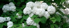 Japanese Snowball Bush - Viburnum plicatumflowers Spring for flowers, fall for colored foliage, winter for interesting form. Grow this viburnum in moist but well-drained soil and full sun to part shade. Prefers acid soil but will adapt to various pH. Zone 5-8