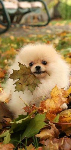 I have a Pomeranian ball in fall...