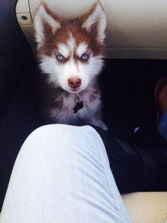 Husky puppy staredown