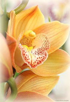 Yellow Orchid ~ The Flower Fields, Carlsbad, by Marcie Gonzalez*