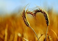 Happy Valentines Day! Even wheat loves agriculture
